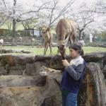 Nara.  I cerbiatti  circolano liberi in cerca di turisti con biscotti.