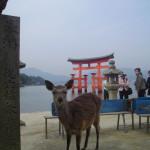 Miyiajima temple. I cerbiatti, numerosi, girano liberi in cerca di turisti per qualche biscotto.